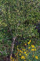 Cercocarpus traskiae (Catalina Island Mountain Mahogany) at Leaning Pine Arboretum