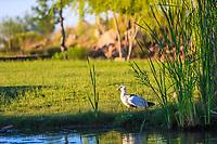 Wildlife ducks in wetland.duck..  (Photo: Luis Gutierrez / NortePhoto.com).<br /> Patos de vida silvestre en humedal, Pato. (Photo: Luis Gutierrez / NortePhoto.com).