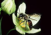 Zaunrüben-Sandbiene, Männchen, Andrena florea, Bryony Mining-Bee, male, Sandbienen, Erdbienen