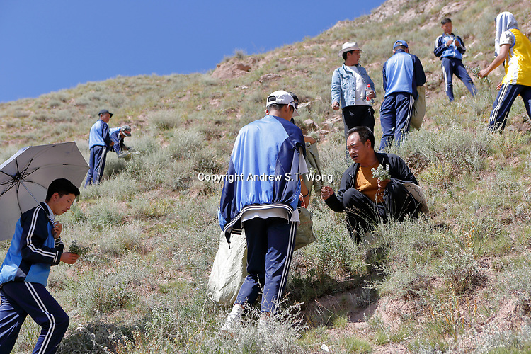 Nangqen County, Yushu Tibetan Autonomous Prefecture, Qinghai Province, China - Tibetan medical students collect wild herbs, August 2019.