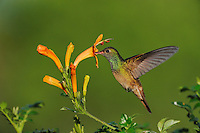 Buff-bellied Hummingbird (Amazilia yucatanenensis), adult in flight feeding on honeysuckle, Sinton, Corpus Christi, Coastal Bend, Texas Coast, USA