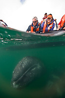 California Gray whale (Eschrichtius robustus) underwater in San Ignacio Lagoon on the Pacific Ocean side of the Baja Peninsula, Baja California Sur, Mexico. Each winter thousands of California gray whales migrate from the Bering and Chukchi seas to breed and calf in the warm water lagoons of Baja California. San Ignacio lagoon is the smallest of the three major such lagoons. Current (2008) population estimates put the California Gray whale at between 20,000 and 24,000 animals.