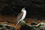 A booby is a seabird in the genus Sula, part of the Sulidae family. Boobies are closely related to the gannets.This one is on a cliff,Galapagos Islands.