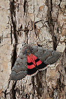 Bruchweidenkarmin, Bruchweiden-Karmin, Bruchweidenkamin, Bruchweiden-Kamin, Catocala pacta, Polish Red. Eulenfalter, Noctuidae, noctuid moths, noctuid moth, Ordensbänder