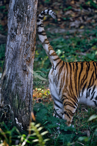Siberian Tiger (Panthera tigris altaica) scent marking tree with urine.