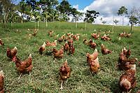 ARMENIA - COLOMBIA, 24-05-2021: Jenny Gallego tiene alrededor de 200 gallinas en su finca El Bosque, varias veces al día salen a pastorear, este tipo de cosas contribuyen en la calidad de la producción de huevo. A más de un mes del inicio del Paro Nacional, los campesinos han tenido que reinventar la forma para mantener sus cultivos y criaderos activos para minimizar las pérdidas por los bloqueos que aún se mantienen en las vías. Según cifras del Ministerio de Hacienda, las pérdidas diarias están en un monto de $480.000 millones de pesos colombianos, lo cual sumando la totalidad de los días del Paro Nacional, suman un total de $10,8 billones de pesos colombianos. / Jenny Gallego has around 200 hens on her farm El Bosque, several times a day they go out to pasture, this kind of thing contributes to the quality of egg production. More than a month after the beginning of the National Strike, farmers have had to reinvent the way to keep their crops and farms active in order to minimize losses due to the blockades that still remain on the roads. According to figures from the Ministry of Finance, daily losses are in the amount of $480,000 million Colombian pesos, which adding the total number of days of the National Strike, add up to a total of $10.8 billion Colombian pesos. Photo: VizzorImage / Santiago Castro / Cont