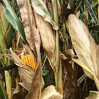 Field corn intended for use as feed for cattle and fowl ripens in the Yarnell Farm fields along Cleveland Ave. Although still part of the Yarnell Farm the land is now leased to other farmers to grow crops.