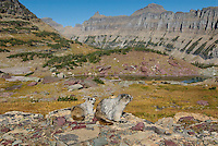 Hoary Marmots (Marmota caligata).  Glacier National Park, Montana.  Fall.