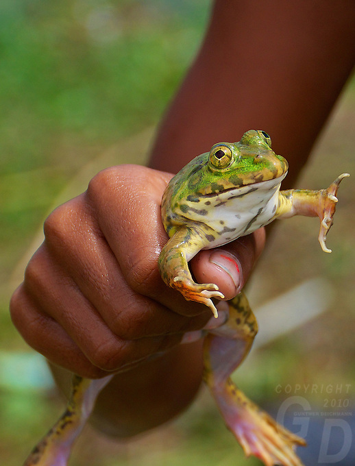 Young Boys catching frogs during the Monsoon Season in the rural area near Battambang, Cambodia