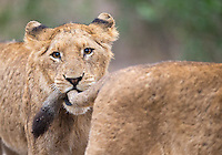 In Kruger we encountered a very large lion pride, over twenty strong.  They were extremely playful at times.