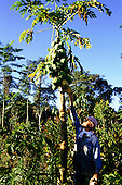 Juruena, Brazil. Man picking a mamao (Carica papaya, pawpaw) fruit at the Pro-Natura experimental station.