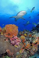 Caribbean reef sharks, Carcharhinus perezii, swim over coral reef and sponges, Little Bahama Bank, Bahama Islands, Bahamas, Caribbean Sea, Atlantic Ocean