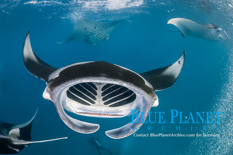 reef manta rays, Mobula alfredi, filter-feeding on plankton amid streams of exhaust bubbles from scuba divers; manta in foreground is female with mating scar on left pectoral fin tip; Hanifaru Bay, Hanifaru Lagoon, Baa Atoll, Maldives, Indian Ocean
