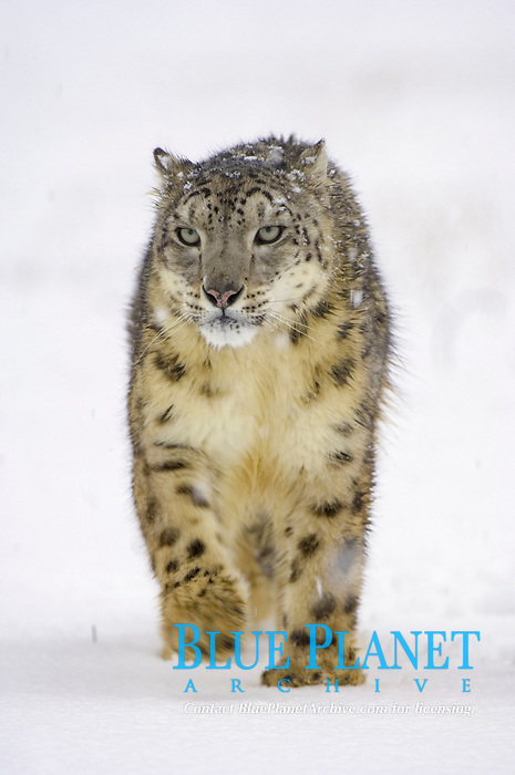 Snow Leopard (Panthera uncia), adult, walking in snow