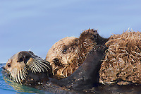 Sea Otters (Enhydra lutris) mother moving pup to a new location.