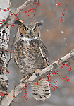 Great Horned Owl (captive rehab)