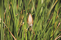 Least Bittern (Ixobrychus exilis), adult in cattails camouflaged, Sinton, Corpus Christi, Coastal Bend, Texas, USA