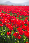 closeup of a vast, solid field of backlit bright red tulips, backed by hazy mountains in the distance, glowing vibrant red in the sunshine at a commercial field flower farm in Mt. Vernon, WA in the Skagit Valley of Washington state