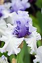 Bearded Iris 'Wintry Sky'.