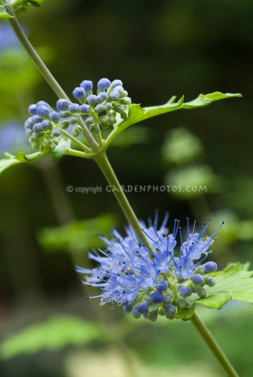 Caryopteris Sunshine Blue