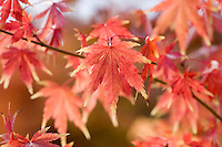 Acer Palmatum 'Fall Fire'
