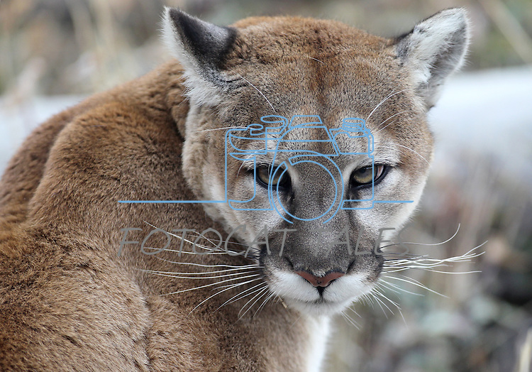 Milo, a 4-year-old mountain lion, seen at the Animal Ark in Reno, Nev., on Friday, March 30, 2012. The wildlife sanctuary opens for its 31st season on Saturday..Photo by Cathleen Allison