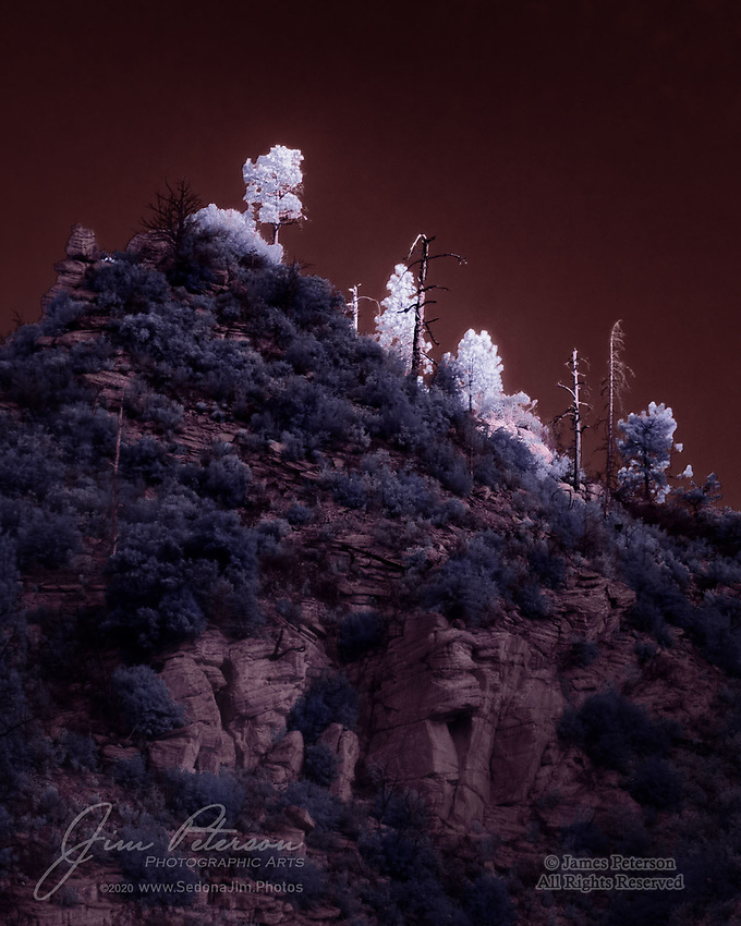 First Light above Oak Creek Canyon (Infrared).  A late October sunbeam bathes a pack of rugged ponderosas with an ethereal infrared glow.  This was captured near the West Fork trailhead in the Coconino National Forest a few miles north of Sedona.<br /> <br /> Image ©2020 James D. Peterson