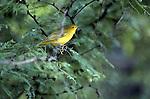 Scarlet tanager, Piranga olivacea, Arizona<br /> <br /> winter plumage
