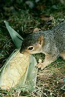 Eastern fox squirrel eating corn on the cob