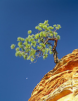 Ponderosa pine tree in colorful rock with moon. Zion National Park, Utah.