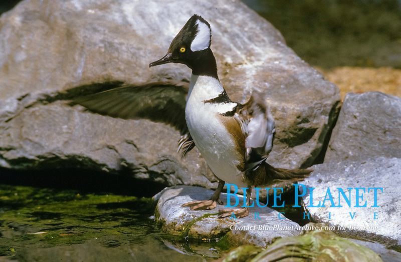 hooded merganser, Lophodytes cucullatus, adult male, opening wings