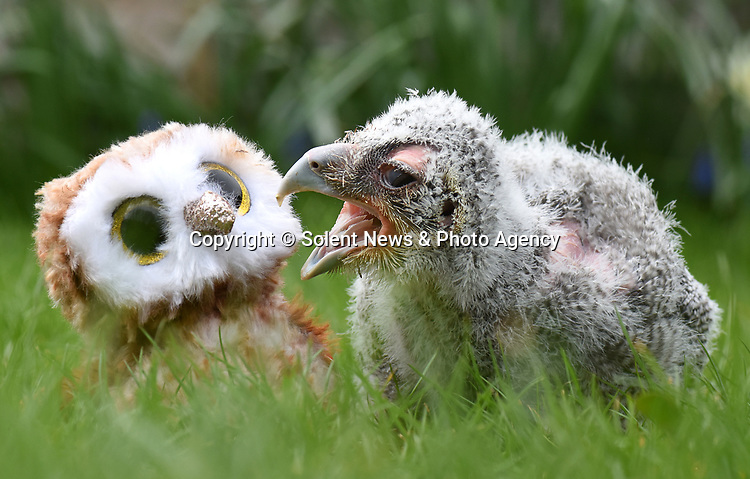 Pictured:  The Verreaux Eagle owlet at Liberty's cuddles up next to a toy owl for comfort.<br /> <br /> Liberty's Owl, Raptor & Reptile Centre are celebrating the arrival of a Verreaux Eagle Owl which has hatched at the centre.  This is the first year that the centre in Ringwood, Hants, has had a Verreaux Eagle Owl hatch, after 20 years of having this breed of owl.<br /> <br /> The 21 day old chick has arrived ahead of Liberty's re-opening to the public on Monday (12th April) as lockdown restrictions are eased.  The owlet which is still having periods of being on heat had a few moments to enjoy spring, while sat amongst hyacinths and daffodils in the grass.  Visitors will be able to see the Verreaux Eagle parents, with mum still currently sitting on eggs.<br /> <br /> © Simon Czapp/Solent News & Photo Agency<br /> UK +44 (0) 2380 458800