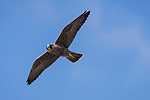 La Jolla, California; a juvenile Peregrine Falcon (Falco peregrinus) practicing flying while over the Pacific Ocean against a blue sky