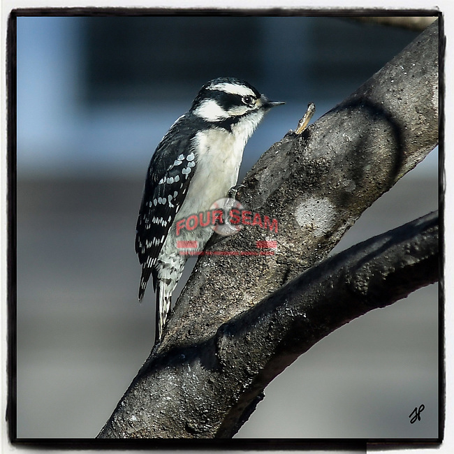 This is an image under Copyright © 2019 by Tom Priddy, Greer, S.C. Not to be used or reproduced without written permission. <br /> <br /> nature, birds, birdsofinstagram, birdwatching, backyardbirds, wildlifephotography, birdphotography, birding, wildlife, backyard birds, bird portrait<br /> <br /> Note that all images will be printed as squares, regardless of paper size chosen.