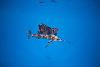 Schooling Atlantic sailfish, Istiophorus albicans, feed on a sardine baitball, Isla Mujeres, Yucatan, Mexico
