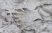 Raccoon tracks in the mud at Reifel.