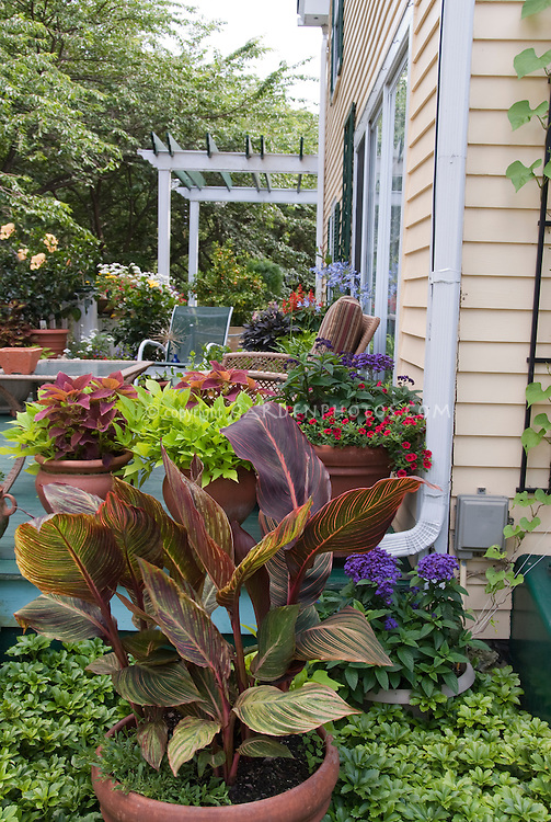 Canna lily in pot container next to house deck with lots of container garden annula flowers and foliage plants, with trellis, yellow house, patio furniture