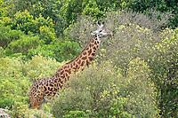 Masai Giraffe, Giraffa camelopardalis tippelskirchii, browsing in Arusha National Park, Tanzania