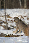Canada lynx (Lynx canadensis) stepping on a snow-covered log