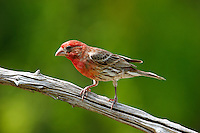 House finch adult male on branch
