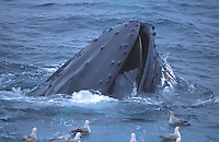 Humpback whale, Megaptera novaeangliae, Bubble net feeding, Bear Island, Arctic, Barents sea, North atlantic