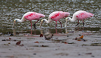 An uncommon sighting (for me) of Roseate spoonbills in Corcovado National Park.