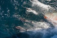 Peale's dolphin, Lagenorhynchus australis, bow-riding, Falkland Islands, South Atlantic Ocean