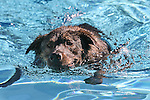 Dogs enjoy the second annual Pooch Plunge at the Carson City Aquatic Center in Carson City, Nev., on Saturday, Sept. 18, 2010..Photo by Cathleen Allison