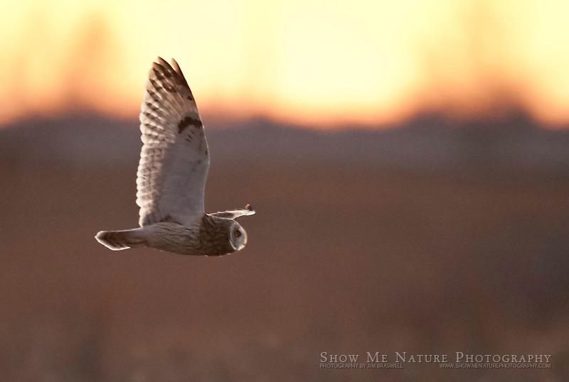 Short-Eared Owl flying over a Missouri prairie