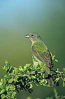 Painted Bunting, Passerina ciris,female, Starr County, Rio Grande Valley, Texas, USA, May 2002