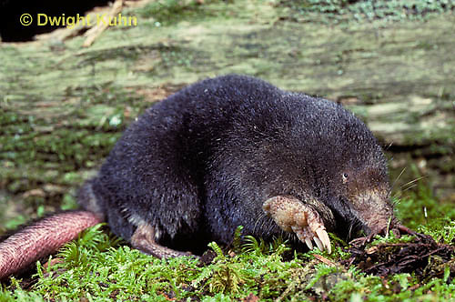 MB01-070z  Star-nosed Mole - adult searching for food - Condylura cristata