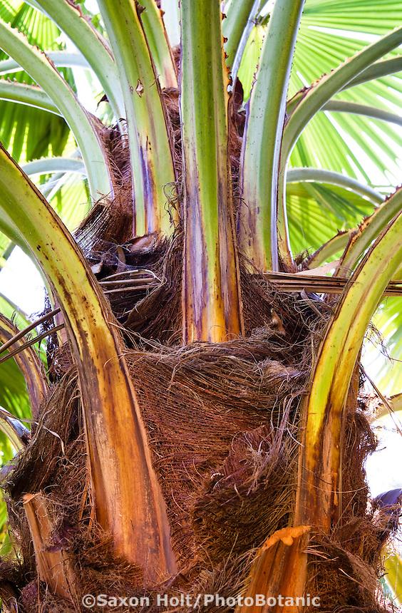 leaves joining trunk of San Jose Hesper Palm, Palma de Taco (Brahea brandegeei)