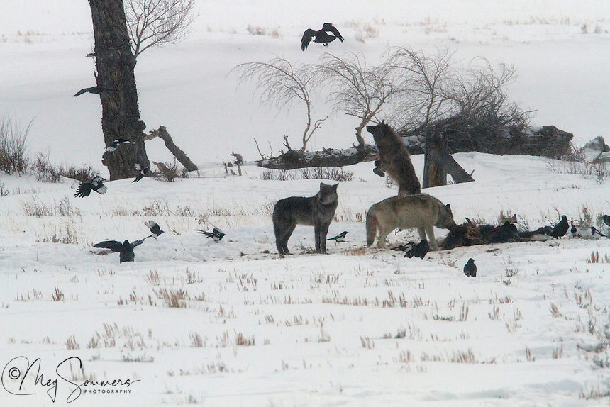 Wolves (Canis lupus) feeding on a bison carcass, really don't like ravens pestering them while they are there. Only the younger wolves are willing to spend the energy to do anything about it however!<br /> Lamar Valley, Yellowstone