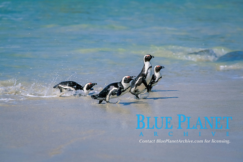 South African or jackass penguin, Spheniscus demersus, exiting the water, Gansbaai, South Africa, Southern Africa